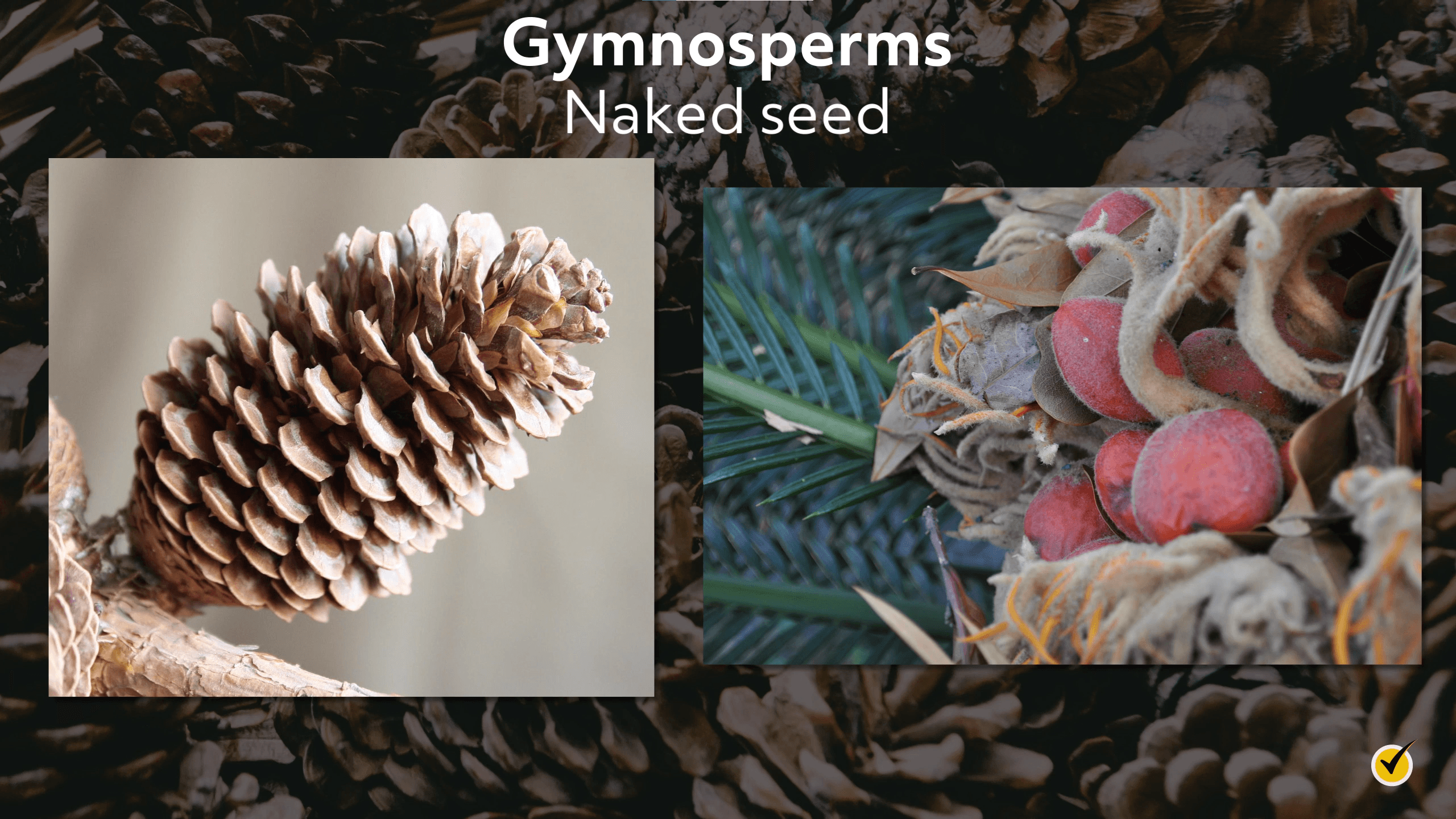 Image of pinecones and other dry leafy materials that are gymnosperms.