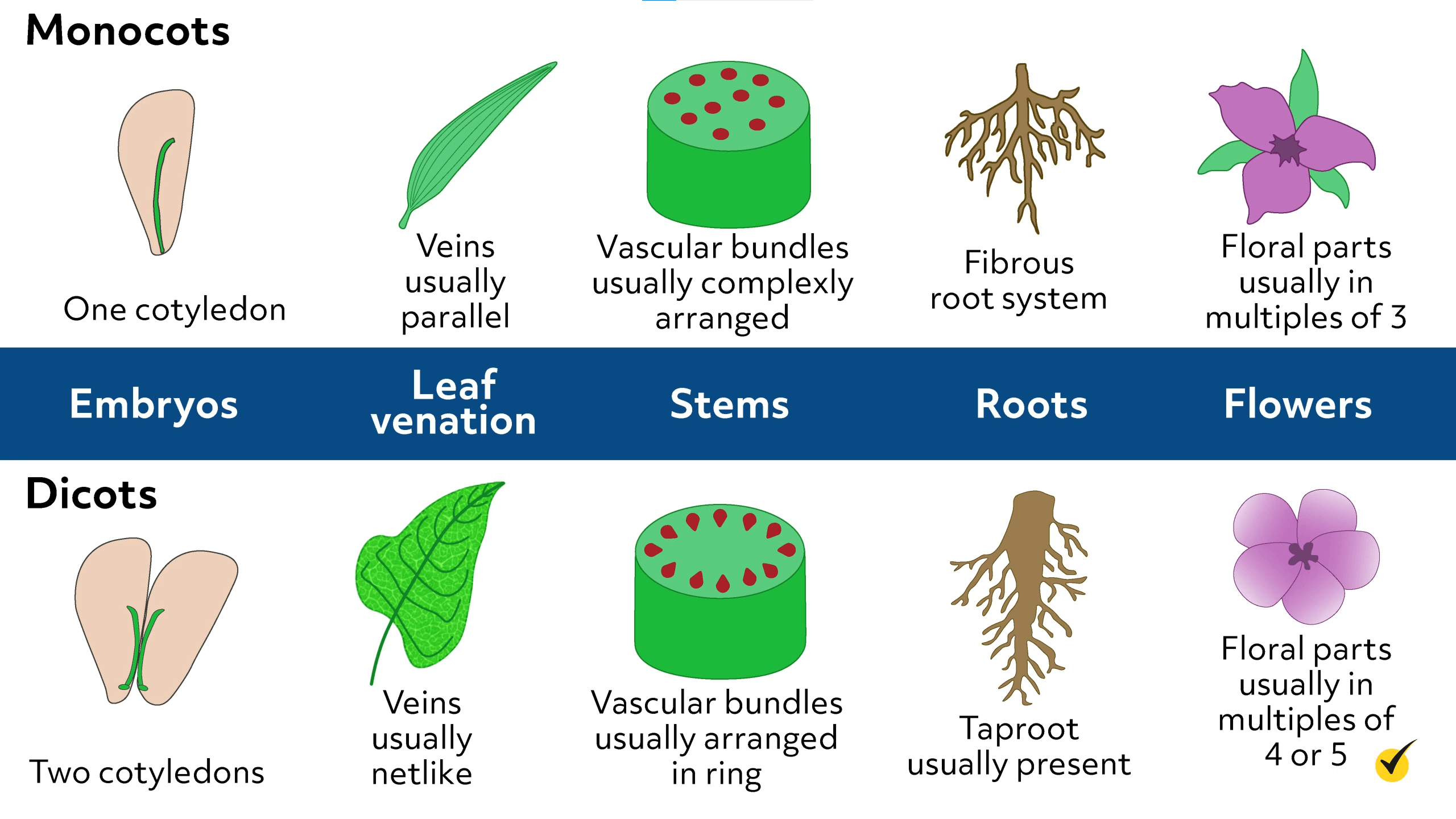 Image of the differences between monocots and dicots.