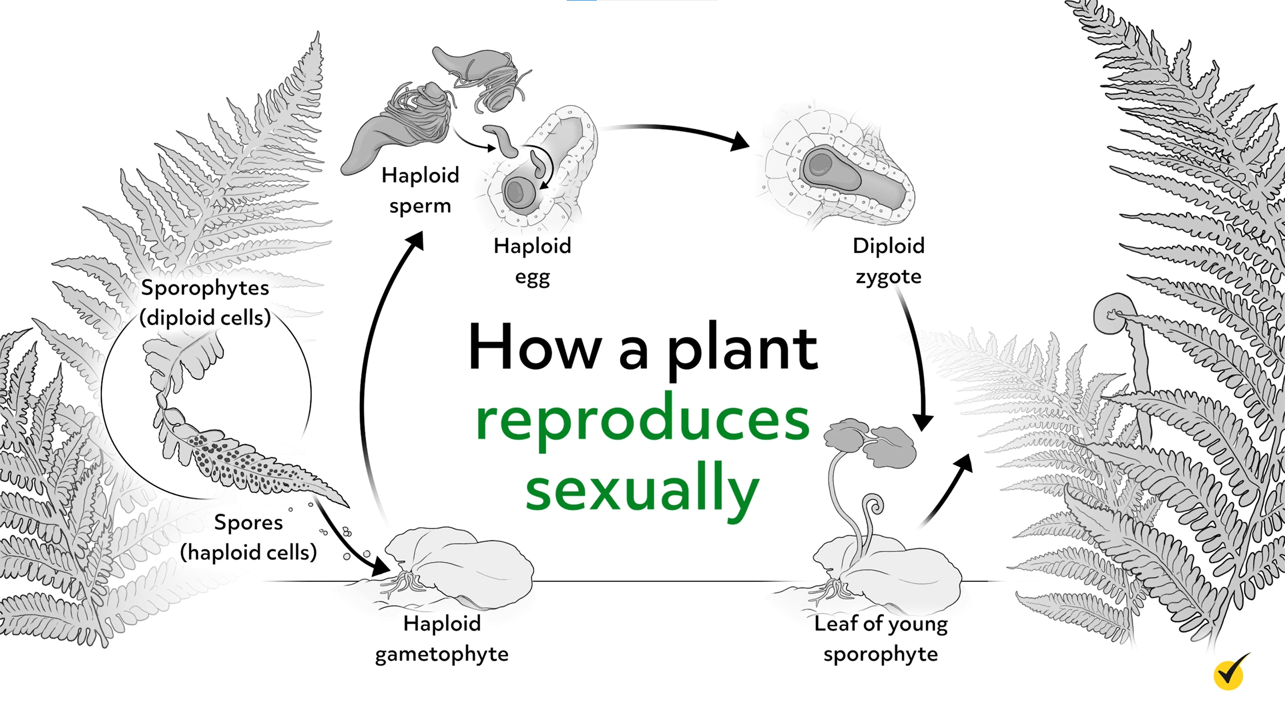 Diagram of how a plant reproduces sexually.